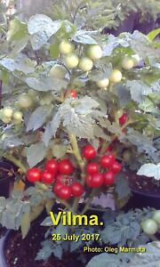50+ Vilma tomato seeds – undersized variety with sweet fruits