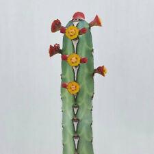 Euphorbiaceae cactus Succulent flowering plants Garden Bonsai Decorative plant