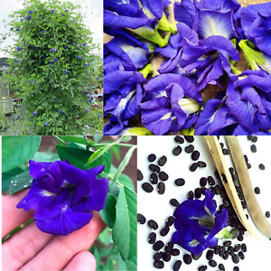 THAI DOUBLE BLUE BUTTERFLY PEA SEED-S- PACK-BLUE FLOWER