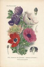 Stampa antica FIORI ANEMONE botanica 1896 Antique print
