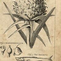 Pineapple Ananas Anchove 1754 Thomas Jefferys uncommon engraved print