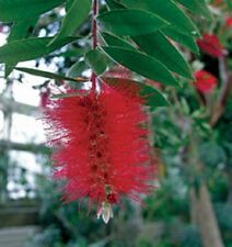 Bottlebrush, Scarlet, red flowering shrub, hummingbirds love them, Five plants
