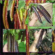 20 Seeds Thai Purple Winged Bean, Organic seeds from Thailand
