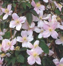 Clematis Waldrebe Mayleen- Rosa + Schokoduft *Kletterpflanze