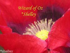 Papaver Somniferum Poppy Original Wizard of OZ Red 5000 seeds *Shelley Exclusive