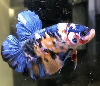betta fish male Giant Nemo Blue Snd Yellow Galaxy Strong Color And Shape BO5.7cm