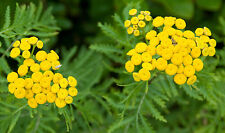 4000 Seeds of Tansy Commun/ Slip / Grass bitter /the worms