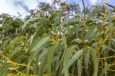 20 Seeds Eucalyptus globulus Tasmanian Blue Gum Evergreen