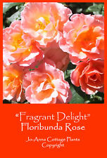 FRAGRANT DELIGHT FLORIBUNDA ROSE VERY SCENTED REPEAT BARE ROOTED  ** 4 FOR 3 **