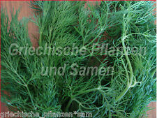 Dill Grand salade + épices pour poissons herbes Plante Aromatique 100