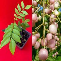 Pink Wampee Clausena excavata Potted Tree Plant