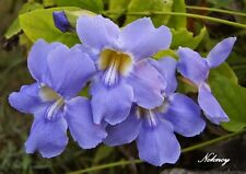 *UNCLE CHAN* 10 SEED LAUREL CLOCK VINE SEED RARE Thunbergia laurifolia BLUE HANG