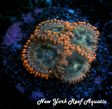 New York Reef Aquatic - 0611 A2 Utter Peace Zoanthid, Zoa, Wysiwyg Live Coral