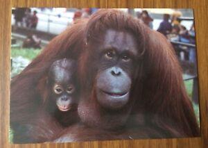 LONDON Zoo Orangutan Postcard