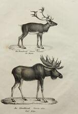 J.Brodtmann(1787-1862), Zoolog. Darstellung, Rennhirsch und Elch, Lithographie
