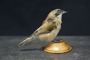 Taxidermy-hunting-chasse-präparat- Eurasian Penduline-Tit with permit