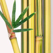 Bambusa Multiplex 'Alphonse Karr' Live Healthy Bamboo Plant 2-3 ft