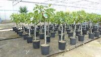 Feigen Baum Ficus Carica Babits Selbst Groß Fruchtbildung mit Rot Fleisch