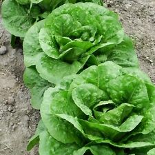 3000 ROMAINE LETTUCE (Parris Island) Seeds + FREE GIFT