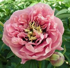 """ITOH PEONY PLANT ROOT """"HONEY"""" (NOT SEEDS) with eyes!"""