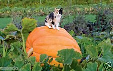40 Seeds-Giant Pumkin,#9046#-Vegetable Seeds