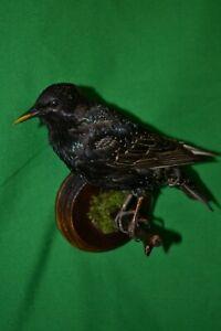 Taxidermy blackbird Real Stuffed mounted Colored Bird Turdus merula