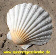 Echte Jacobsmuschel Pecten Jacobaeus weiß ca. 10 x 9 cm