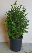 ENGLISH BOX HEDGE PLANTS IN 200mm (8 inch) POTS