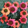 100PCS MIXED RUBY ECHINACEA CONE-FLOWER SEEDS PERENNIAL HOME GARDEN BONSAI PLANT