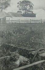 "AUSTRALIAN B&W PHOTOGRAPH UNKNOWN ""THE FARM CAT"" C 1940"