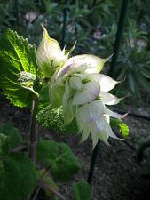 40 Samen Weißer Muskateller-Salbei Salvia sclarea Bienenweide Scharlei