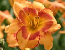 Daylily Plant All Fired Up (Stamile, 1996) Orange Red Daylilies Flower Df