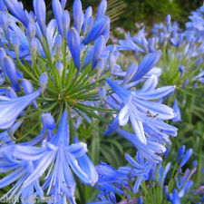 Blue Clivia Agapanthus Africamus Outdoor Plant - 100 Seeds