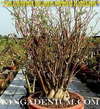 "New listing Adenium Arabicum "" Black Petch Nawang "" Desert Rose 10 Seeds Fresh. Bonsai"