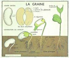 Set de Table affiche Poster art print  N°10 la graine, Germination du Haricot