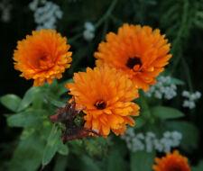 20 graines de SOUCIS CALENDULA orange jaune anti pucerons amis du jardinier !