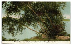 Early 1900s White Birches on Maple Grove Point, Lake Tripp Poland Maine Postcard