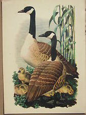 BEAUTIFUL VINTAGE BIRD PRINT ~ CANADA GOOSE & YOUNG GOSLINGS