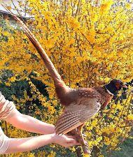 Taxidermy Mounts Bird European Stuffed Ringneck Pheasant Wall Home Art Decor