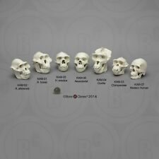 Hominid Skull Collection—Human Evolution