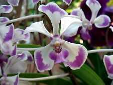 Vanda luzonica, flowering size species orchid