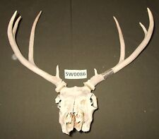Whitetail Deer Skull and Antlers for home office or lodge decor or crafts Sw0086