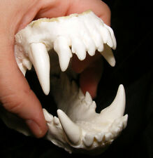 Wolf dog hybrid jaws teeth cast taxidermy
