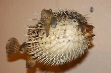 (1) 17 Inch Porcupine Fish, Blowfish, Taxidermy, Sealife, Preserved, Ocean, Sea