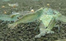 Amano Shrimp Live Freshwater Aquarium Shrimp