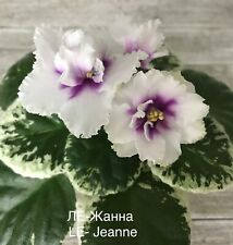 African Violet Ukraine *Le- Zhanna / or Jeanne * young starter