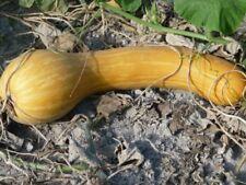 8 Graines de Courge Longue de Nice Méthode BIO seeds plantes légumes ancien rare