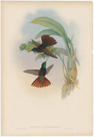 Gould Hummingbirds antique h/c lithograph w/gold leaf Pl 191 Coppery-Tail