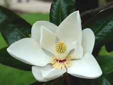 MAGNOLIA  magnolio GRANDIFLORA  100 semillas seeds