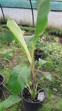 10 Semillas Platanero Abisinio (Ensete Ventricosum) seeds